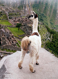Everything's Better with Llamas